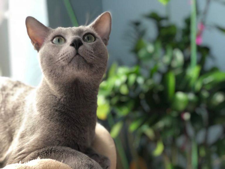 kocury - kot rosyjski niebieski