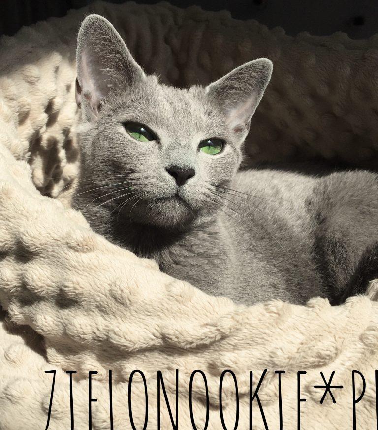 kot rosyjski niebieski - Warszawa