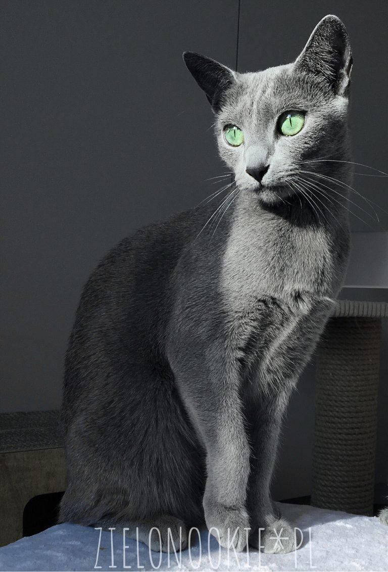 Koty rosyjskie wygląd - Bella zielonookie*PL