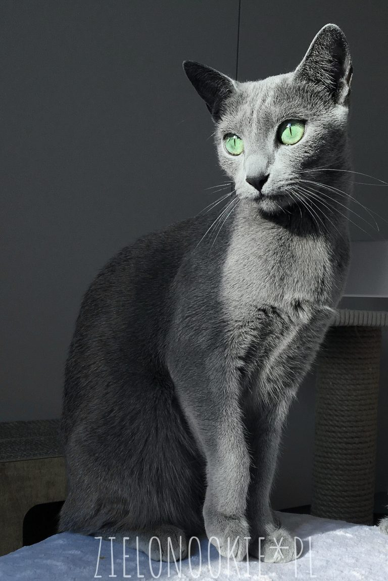 kot rosyjski niebieski wygląd
