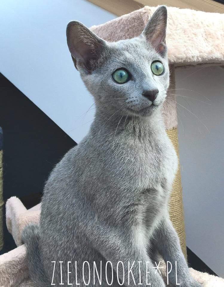 Hodowla kotów rosyjskich - kotka