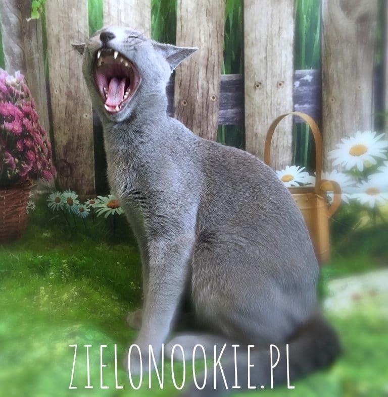 zęby kot rosyjski niebieski