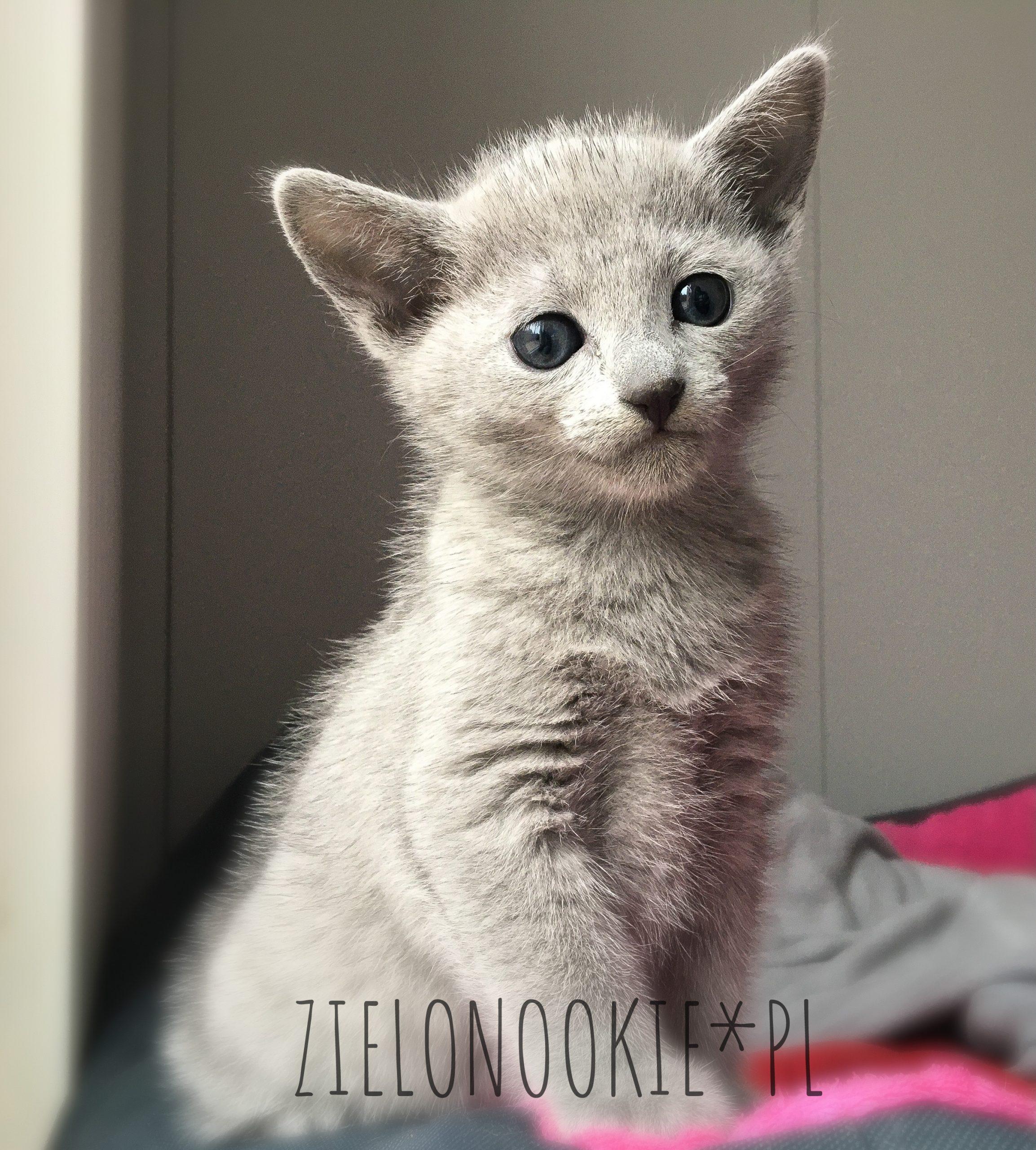 rosyjskie niebieskie kocięta hodowla