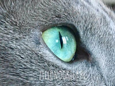 kot rosyjski oko